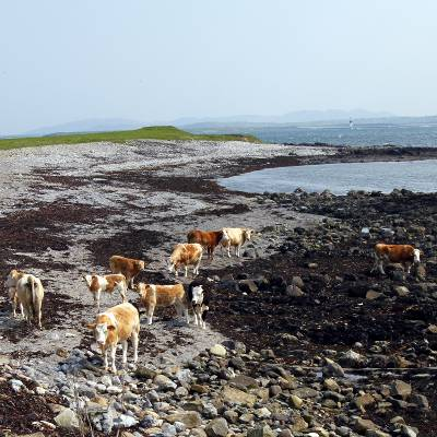 Cows on the beach by Raughley harbour