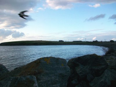 Swallow flying at dusk outside the cottage (Raughley beach in the background)